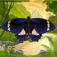 Butterfly Effects Pro